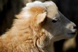Lamb_9106