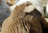 Lamb_9124