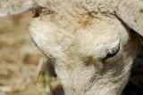 Lamb_9058