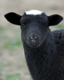 Lamb_9292