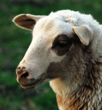 Lamb_10380