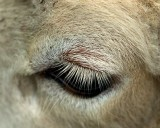 Lamb Eye_10920