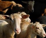 Sheep_12051.jpg