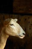 Sheep_12056-2