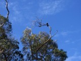 Falcon in the trees