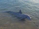 Dolphin in Monkey Mia