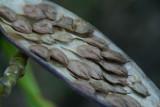 Plumeria seeds