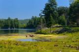 174 Bathing Elk and Piglets.jpg