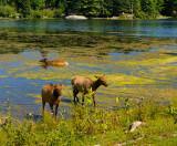 174 Elk in the Lake.jpg