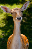 174 Fallow Deer 2.jpg