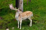 174 Fallow Deer Male 3.jpg