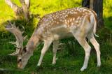 174 Male Fallow Deer 3.jpg