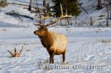193 Bull Elk 3.jpg