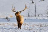193 Bull Elk 5.jpg