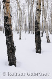 196 Birch Trunks in Snow 1.jpg