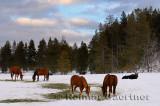 196 Moose and Horses 1.jpg