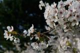 198 Cherry Blossoms 4.jpg