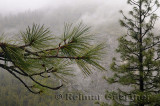 231 Wet Pines.jpg