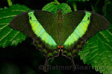 234 Banded Peacock 2.jpg
