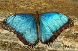 234 Blue Morpho.jpg