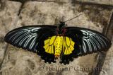234 Cairns Birdwing 1.jpg