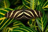234 Zebra Longwing 1.jpg
