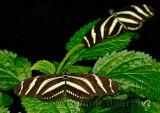 234 Zebra Longwings.jpg