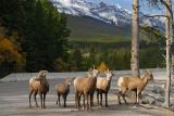 143 Bighorn Sheep 7.jpg