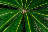 157 Cycad fronds.jpg