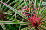 157 Red Pinapple 2.jpg