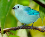 158 Blue Gray Tanager 1.jpg