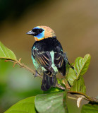158 Golden Hooded Tanager.jpg