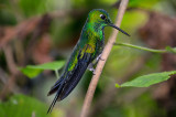 158 Male Green Crowned Brilliant.jpg