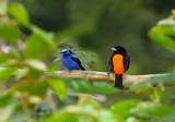 158 Red Legged Honeycreeper and Cherries Tanager.jpg