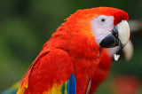158 Red Macaw.jpg