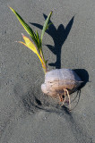 160 Coconut sprout.jpg