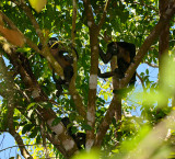 160 Howler Monkeys.jpg