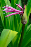 160 Purple Crinum Lily 1.jpg