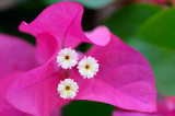 161 Bougainvillea flower.jpg