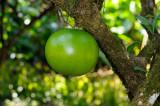 161 Calabash Tree 2.jpg
