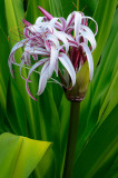 161 Purple Crinum Lily 3.jpg