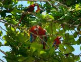 161 Wild Macaws 2.jpg