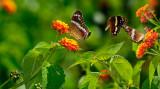 162 Bordered Patch Butterflies 1.jpg