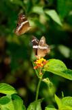 162 Bordered Patch Butterflies 3.jpg