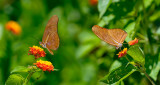 162 Orange Julia Butterflies 1.jpg