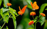 162 Orange Julia Butterflies 2.jpg