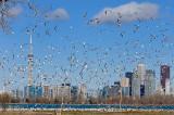 164 Ring Billed Gull colony Toronto 2.jpg