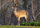 164 Toronto Deer 1.jpg