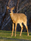 164 Toronto Deer 2.jpg