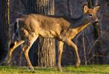 164 Toronto Deer 3.jpg